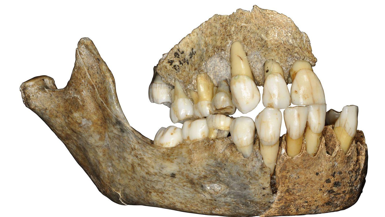 L'ADN prélevé sur cette mâchoire de Néandertalien découverte en Belgique apporte de nouveaux détails sur l'époque ...