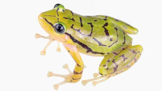 Découverte d'une espèce de grenouille de pluie noire et jaune