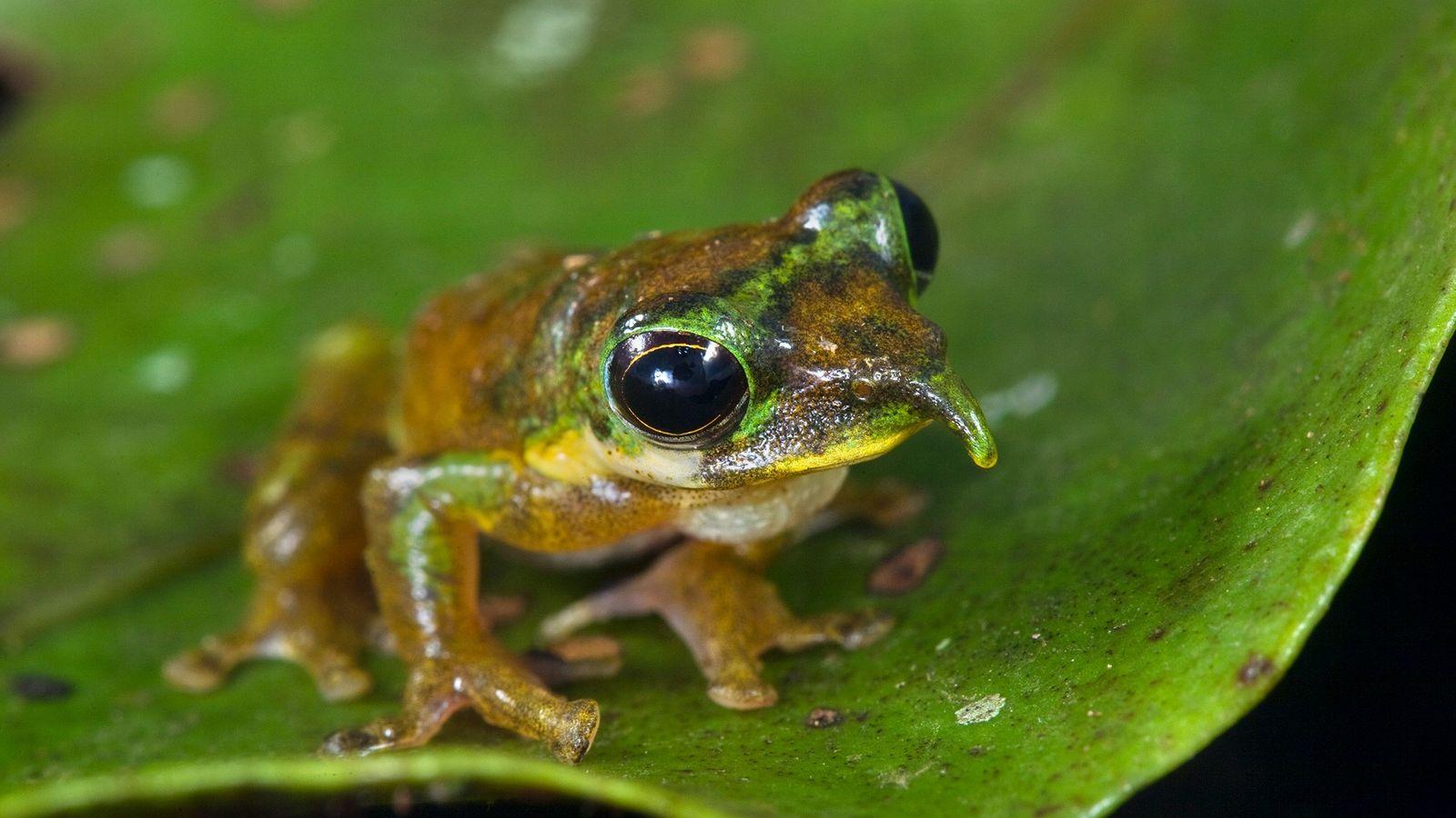 La grenouille Pinocchio du nord, Litoria pinocchio, se repose ici sur une feuille des forêts des ...
