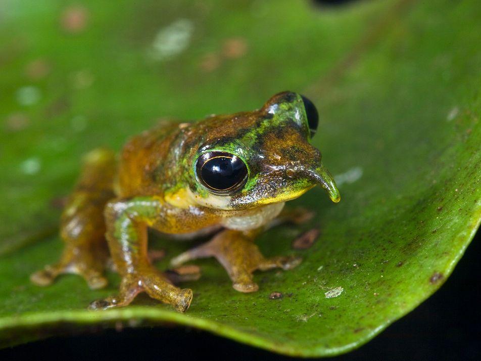 Découverte d'une nouvelle espèce de grenouille Pinocchio en Nouvelle-Guinée