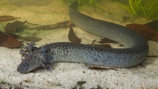 Une nouvelle espèce de salamandre géante a été découverte en Floride