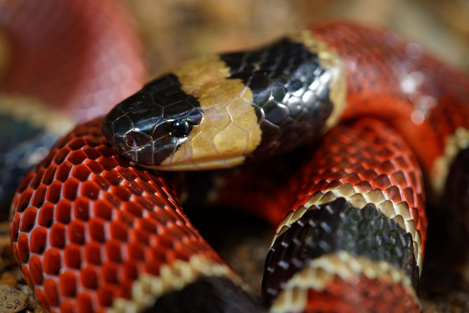 Découverte d'une nouvelle espèce de serpent dans le corps d'un autre serpent