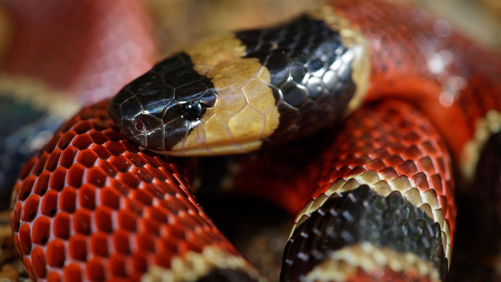 Il n'est pas rare que le serpent corail d'Amérique centrale (Micrurus nigrocinctus) se nourrisse d'autres serpents ...