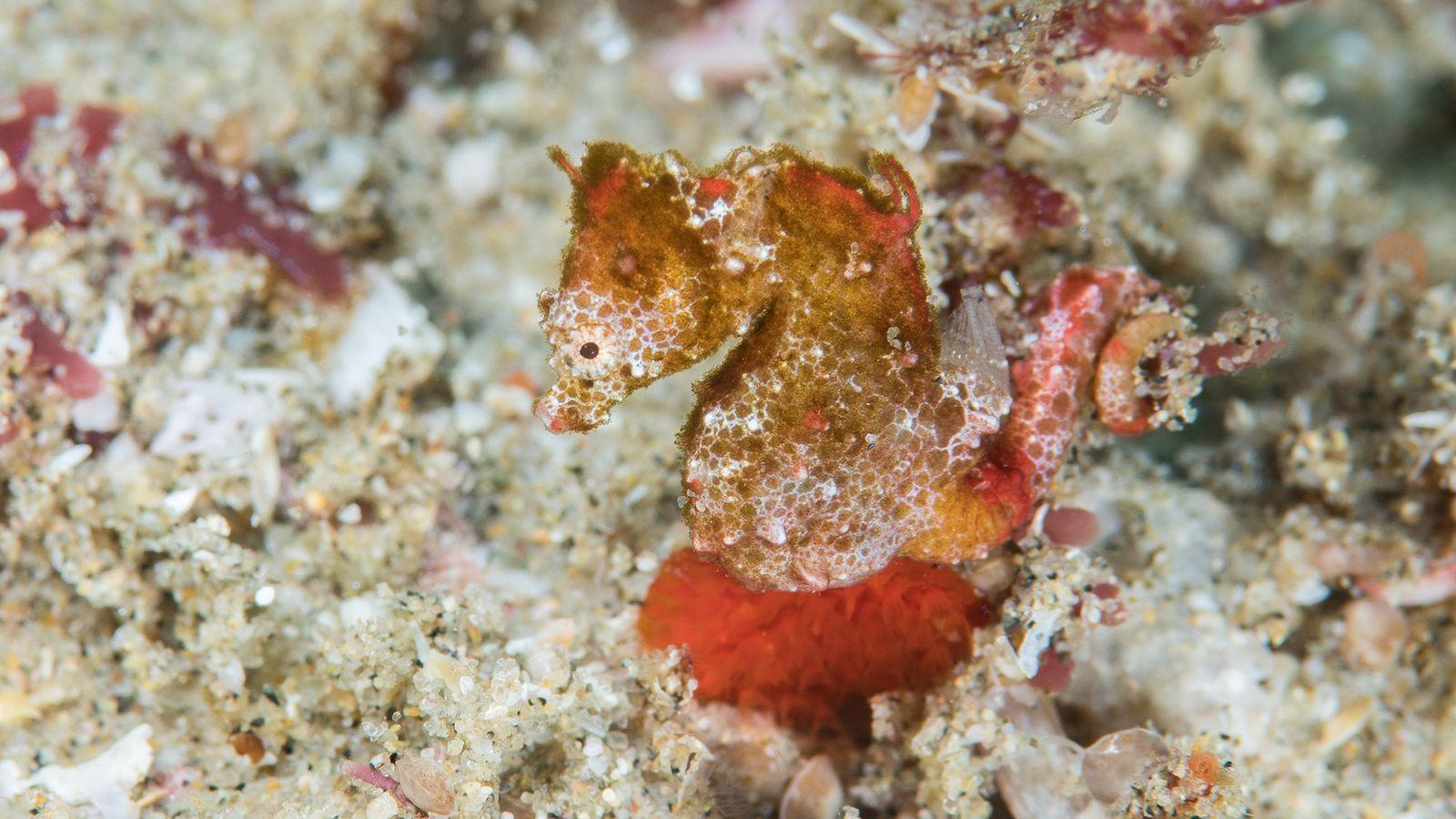 Hippocampus nalu, également connu sous le nom d'hippocampe pygmée africain, a à peu près la taille ...