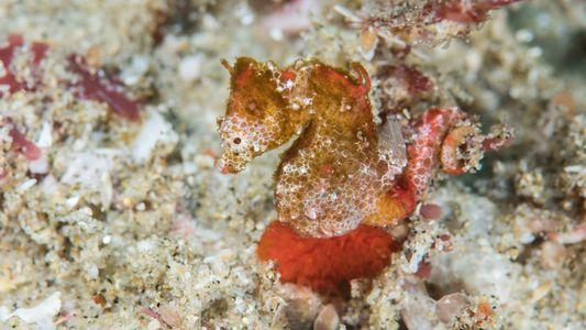 Découverte d'une nouvelle espèce d'hippocampe pygmée en Afrique