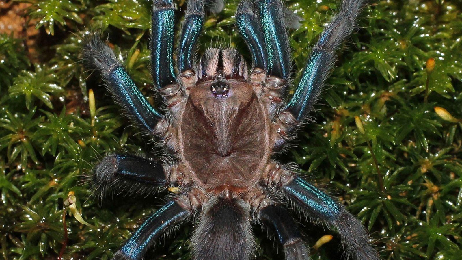 Les femelles des espèces nouvellement découvertes ont les pattes bleu vif, tandis que les mâles arborent ...
