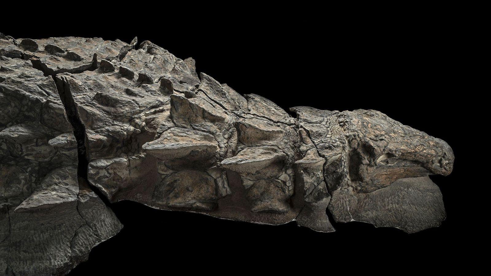 Vue de l'aile droite du dinosaure Borealopelta markmitchelli. Découvert fortuitement par des mineurs en 2011, il ...