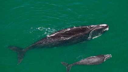 L'extrême maigreur des baleines franches de l'Atlantique Nord inquiète les scientifiques
