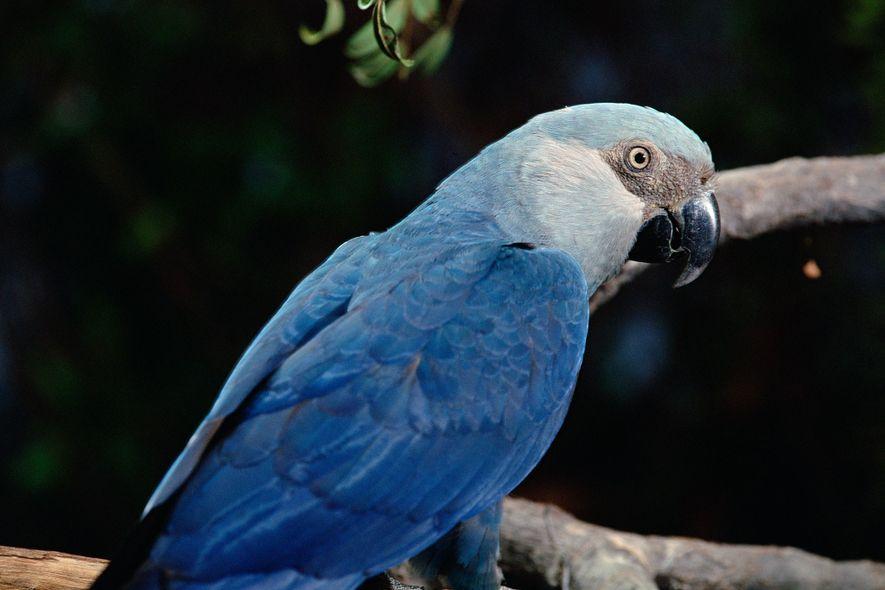 Huit espèces d'oiseaux auraient disparu ces dix dernières années