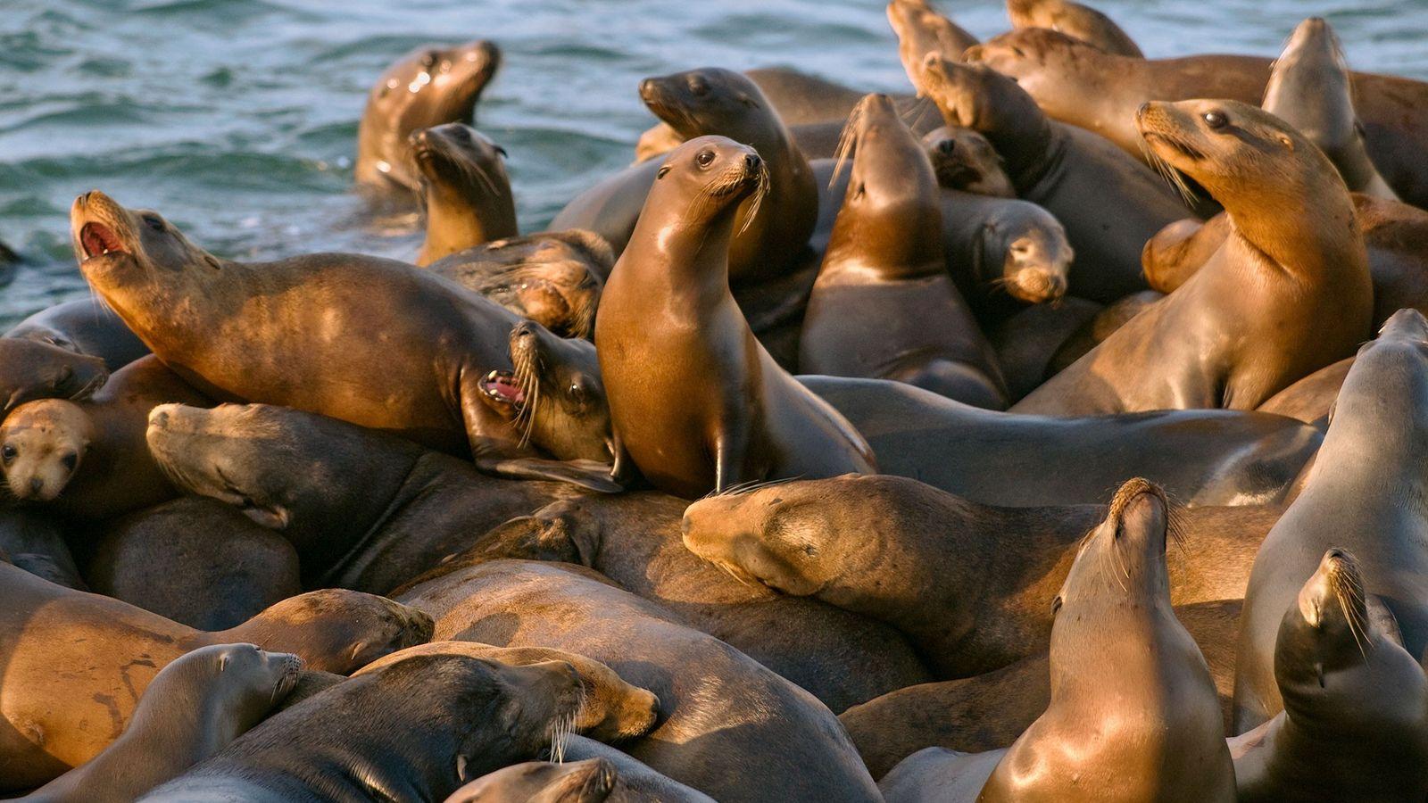 Une bande d'otaries de Californie se repose sur le quai du port à Moss Landing en ...