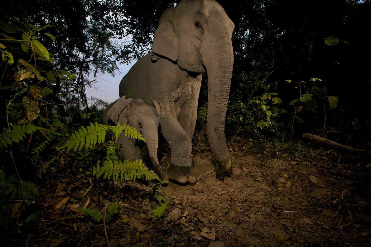 Les bébés éléphants d'Asie sont régulièrement blessés par les pièges des braconniers