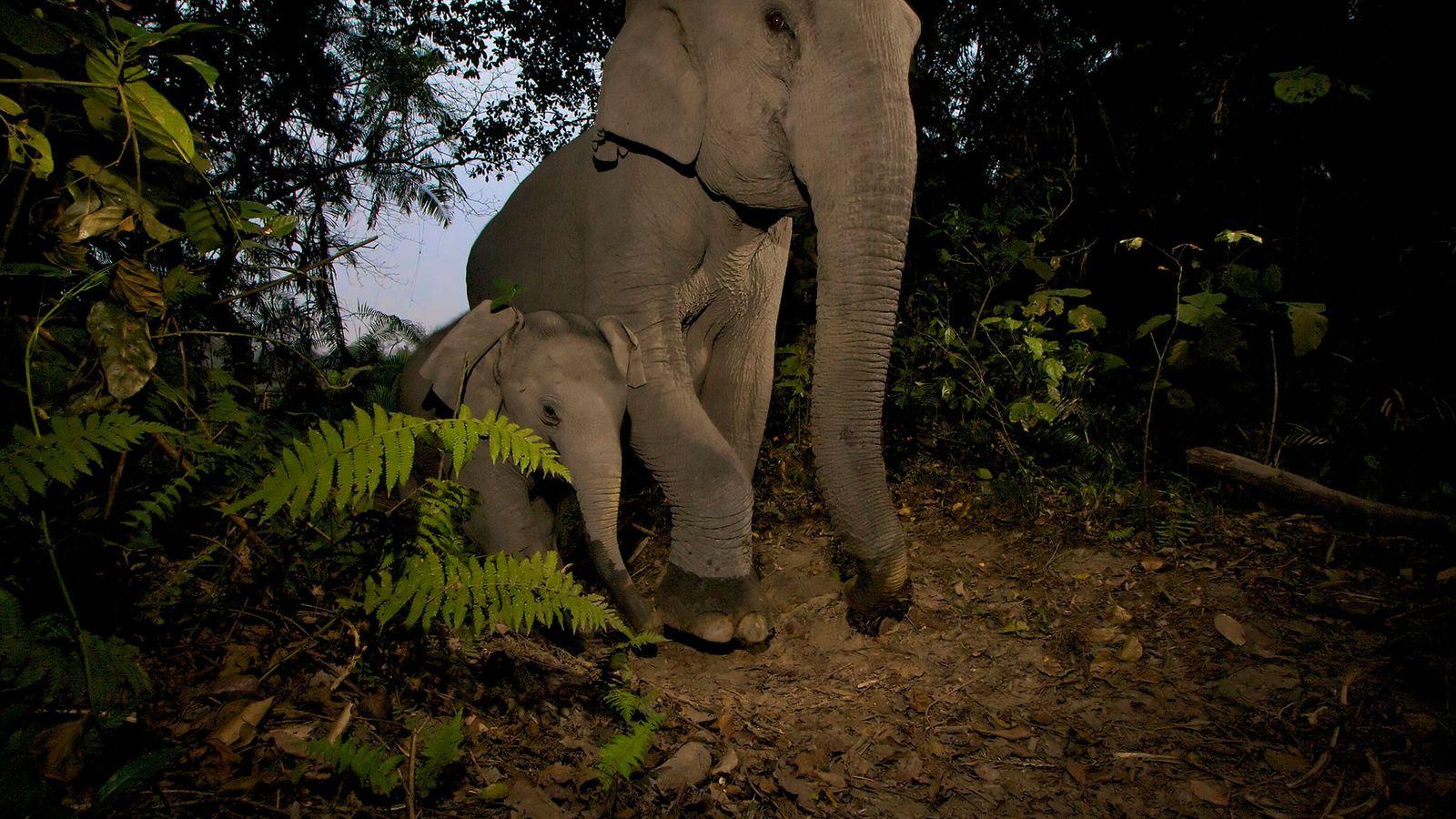 Les éléphanteaux d'Asie et leurs pattes plus petites, sont plus sujets à des blessures graves que ...