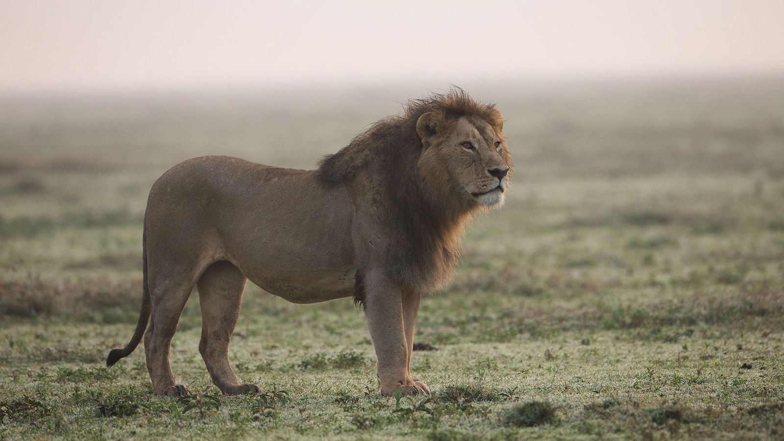 Les lions d'Afrique sont de plus en plus nombreux à être tués pour leurs dents et ...