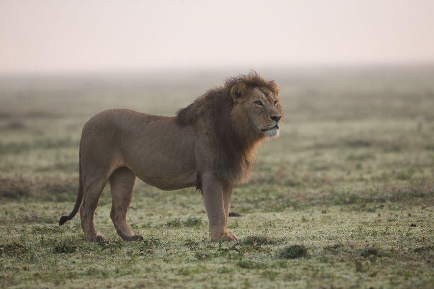Les tigres se faisant rares, les braconniers se tournent vers les lions