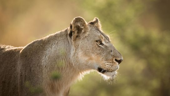 Les Lions sont de plus en plus menacés en raison de la demande croissante pour leurs ...