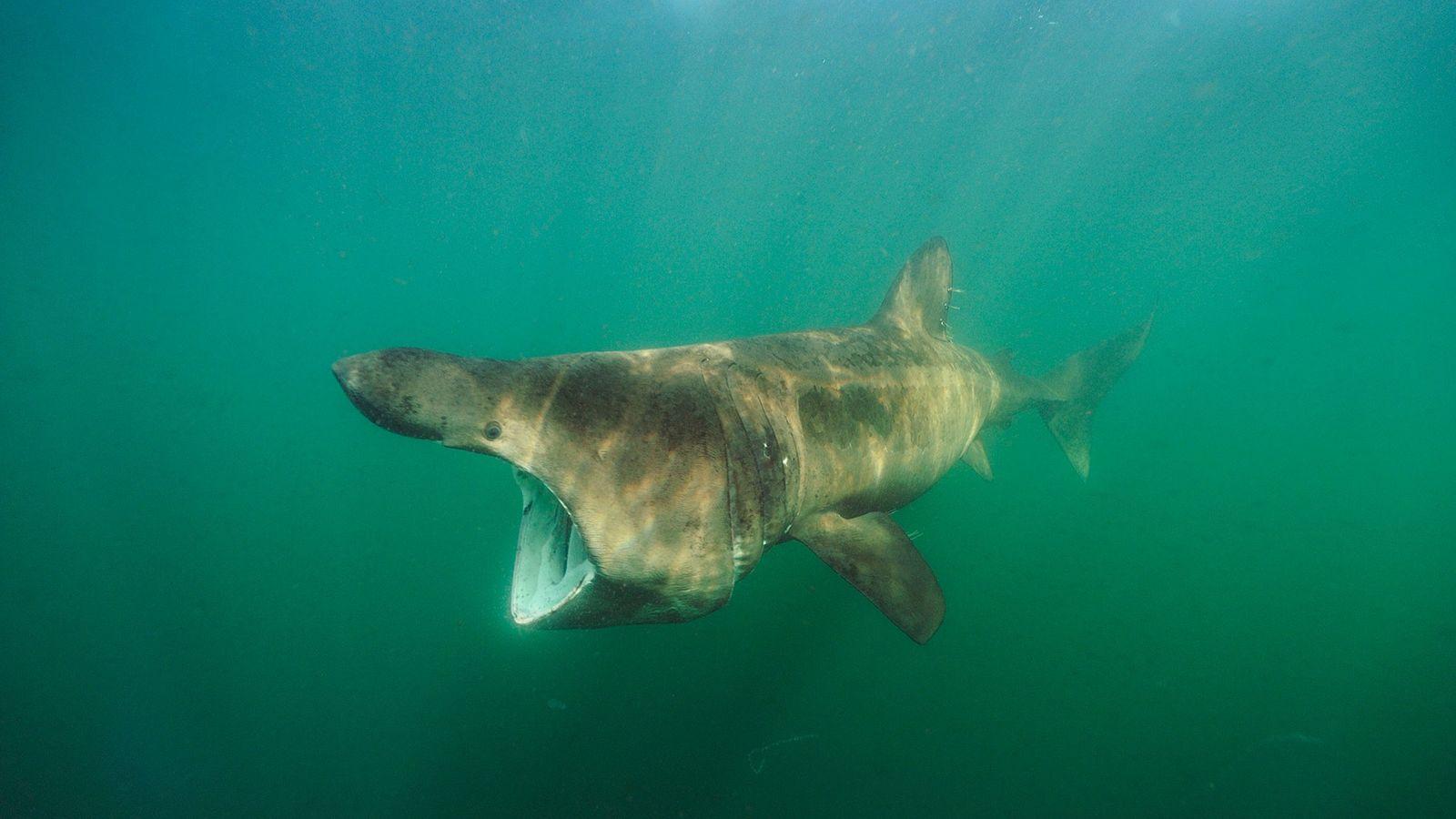 Le requin-pélerin est largement chassé pour l'huile produite par son foie. Les foies de ces requins ...