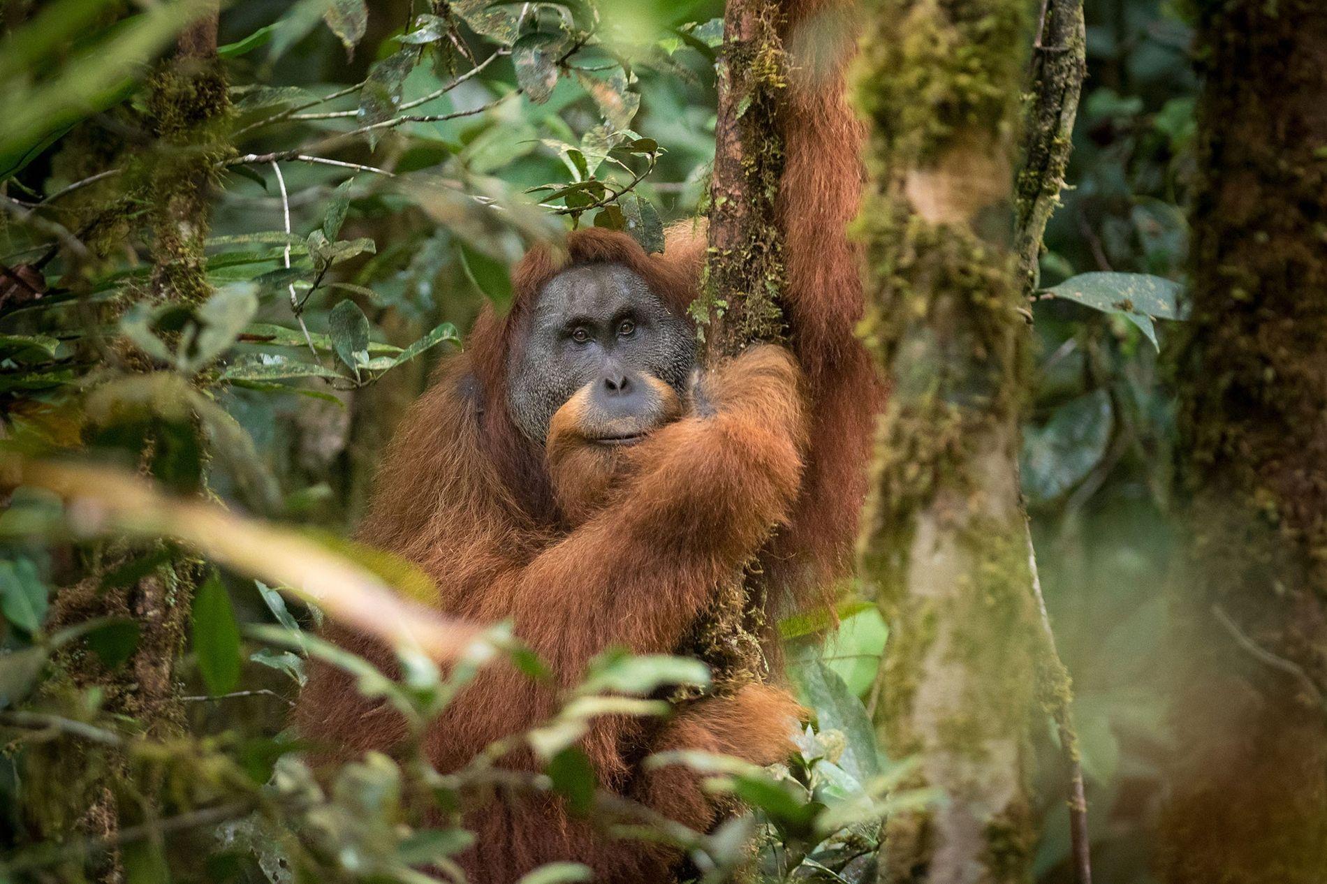 L'orang-outran de Tapanuli sur l'île de Sumatra est une nouvelle espèce de grand singe identifiée en ...