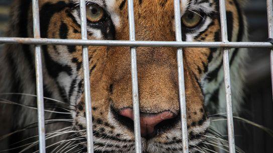 Plus de 8 000 tigres vivent en captivité en Asie. Des enquêtes révèlent que dans la ...