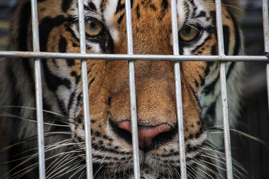 Plus de 8 000 tigres vivent en captivité en Asie. Des enquêtes révèlent que dans la majorité des cas, les félins sont élevés puis tués pour alimenter le commerce illégal. Il reste moins de 4 000 tigres à l'état sauvage.