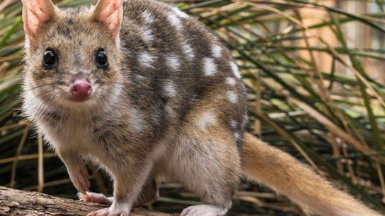 Disparu sur l'île-continent d'Australie, le chat marsupial tacheté (Dasyurus viverrinus) vit encore en Tasmanie. Des chercheurs ...