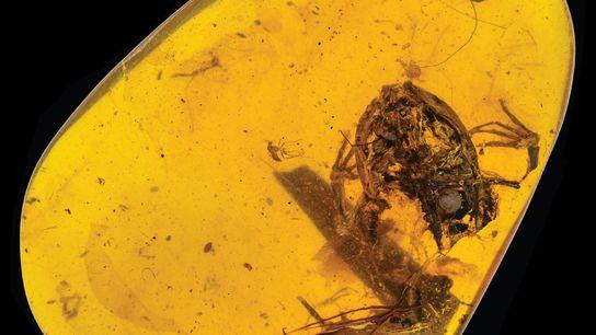 La petite grenouille emprisonnée dans ce morceau d'ambre de Birmanie vivait à l'époque des dinosaures.