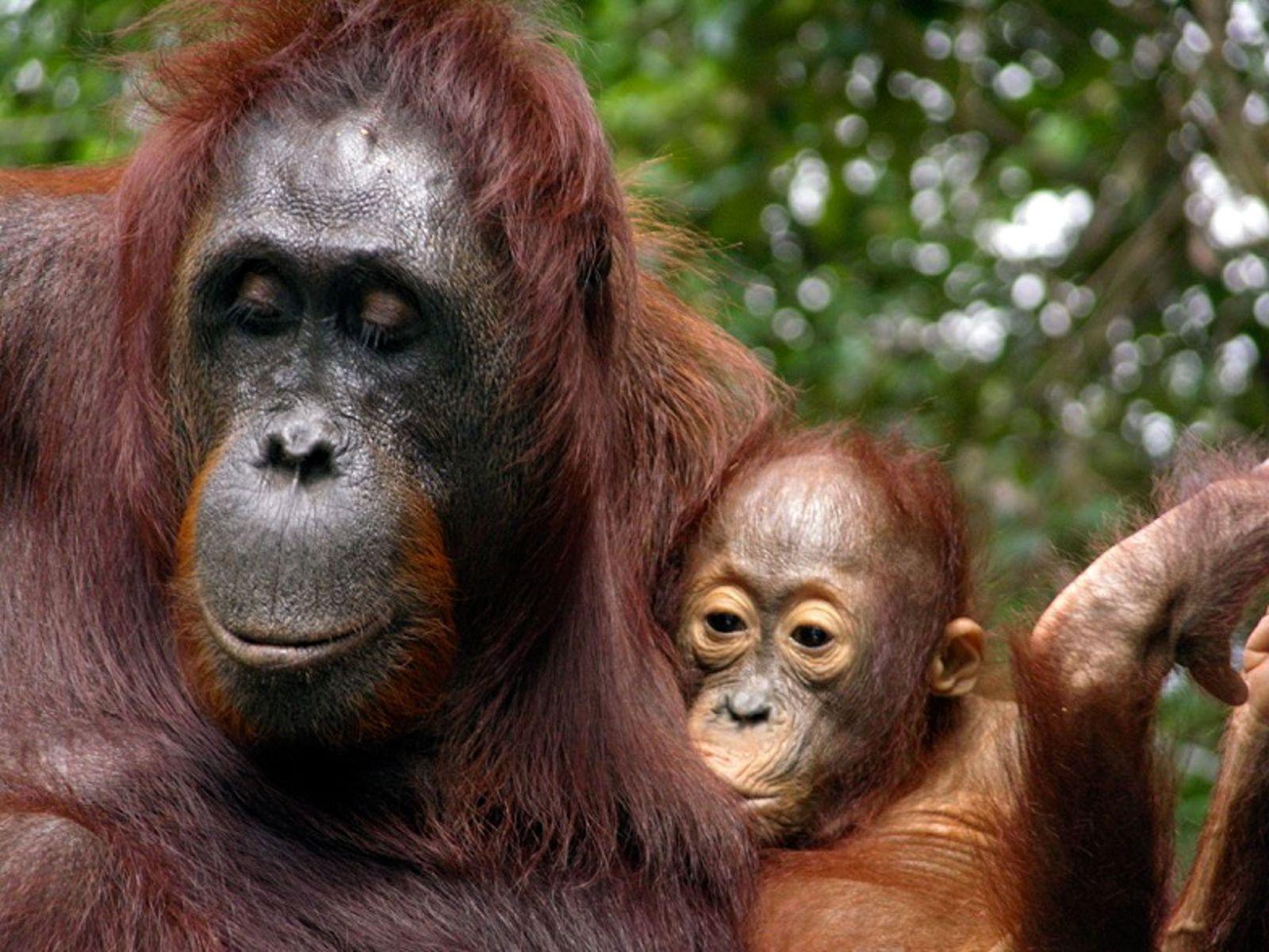 L'orang-outan est le primate qui allaite le plus longtemps
