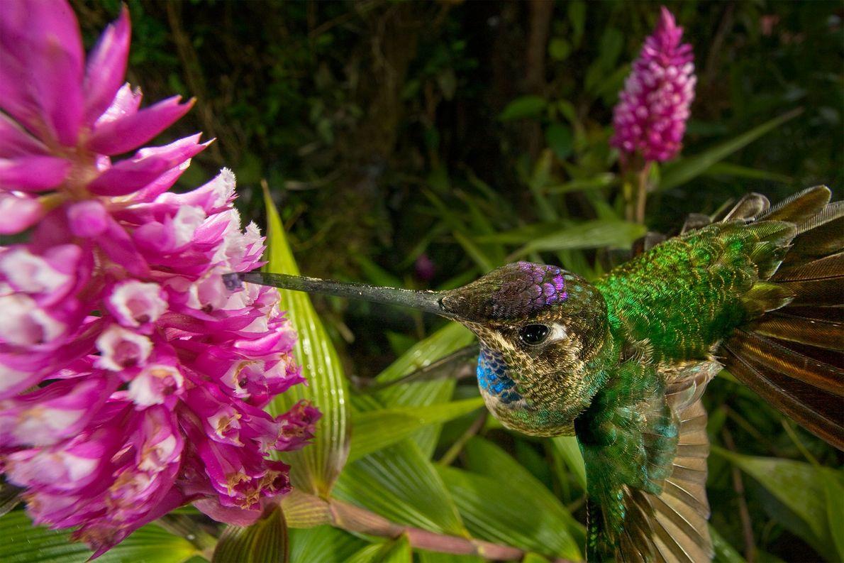 Ici un oiseau mouche pollinise une orchidée hélianthe. La plupart d'entre elles sont protégées par des ...
