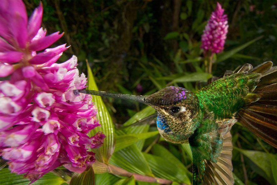 Ici un oiseau mouche pollinise une orchidée hélianthe. La plupart d'entre elles sont protégées par des …