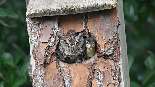 La photographe amateur Laurie Wolf a pris cette photo d'un caneton partageant son nid avec un ...