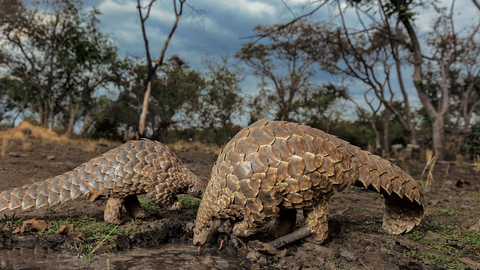 Parmi les mammifères, les plus grandes victimes du commerce illégal sont les pangolins. Généralement convoités pour ...