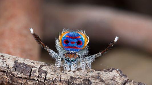 La spectaculaire parade nuptiale des araignées paons