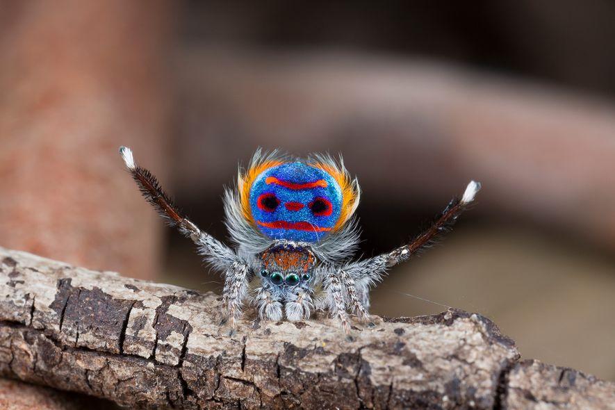 Une araignée paon mâle (Maratus speciosus) montre son arrière-train éblouissant pendant une parade nuptiale.