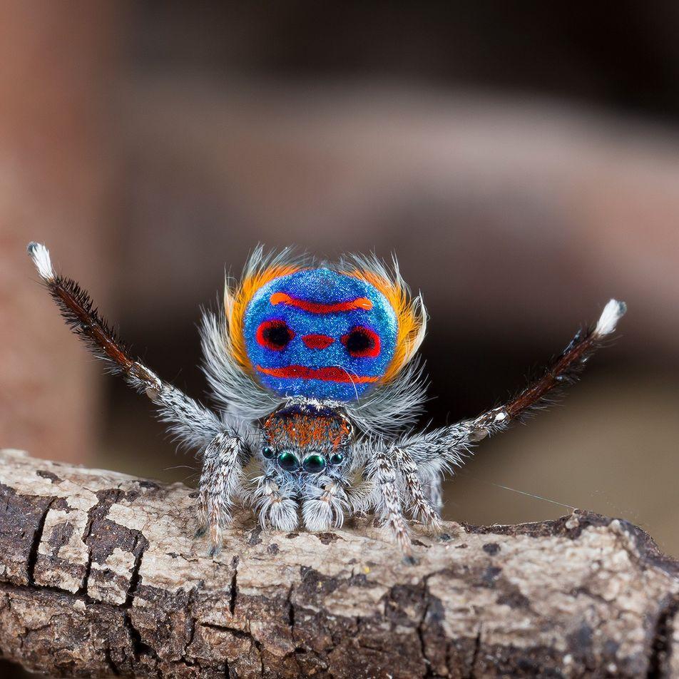 Les araignées paons ont recours à des illusions d'optique pour envoûter leur partenaire