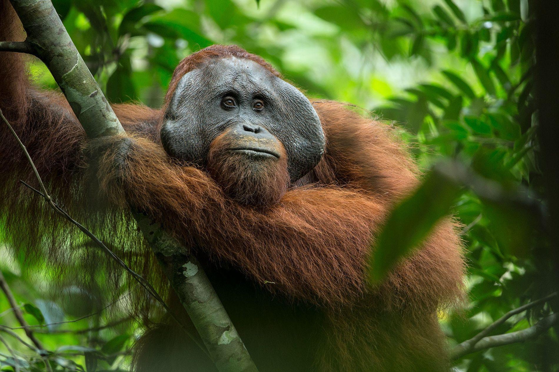 Un orang-outang se repose dans le parc national de Gunung Palung. Cette espèce est en danger ...