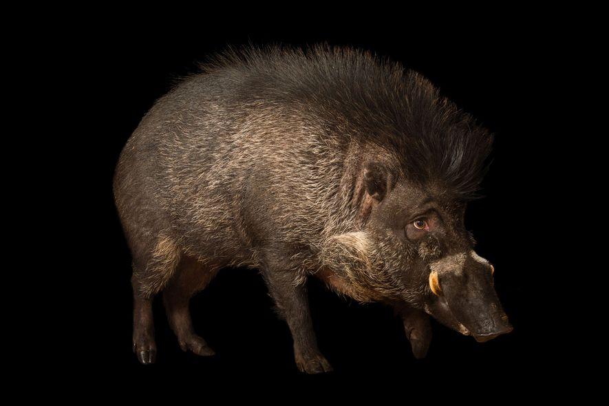 Des porcins observés en train d'utiliser des outils pour la première fois