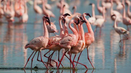 Les mâles de l'espèce Phoeniconaias minor (flamant nain) paradent dans le lac Nakuru au Kenya. Au ...