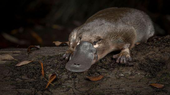 Un ornithorynque est relâché dans les eaux de la Little Yarra River à Victoria, en Australie, ...