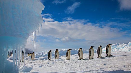 Des manchots empereurs se pressent à la file indienne sur la glace du cap Washington, aux ...