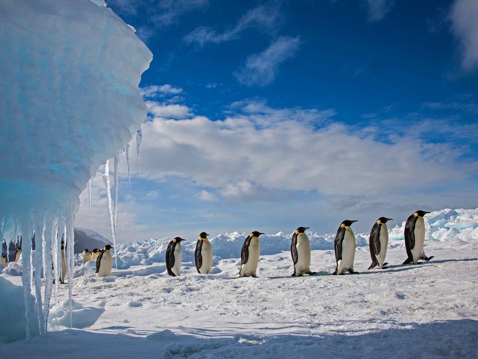 Les pingouins vivent en Arctique, les manchots en Antarctique
