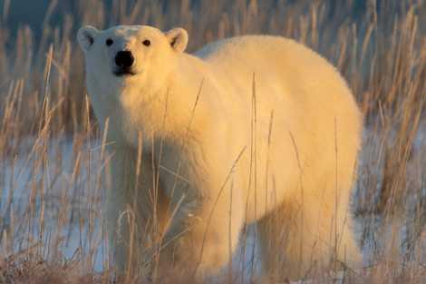 Ours polaires : leur chasse peut-elle vraiment être durable ?