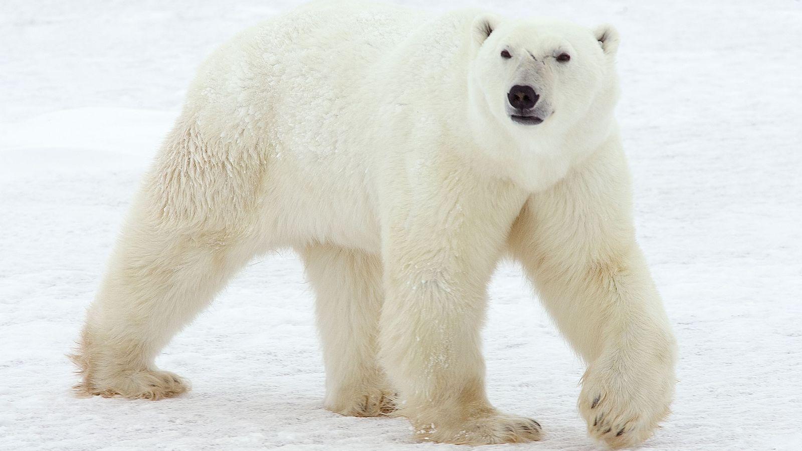 Les ours polaires sont normalement observés le long des côtes arctiques ou sur la banquise, comme ...