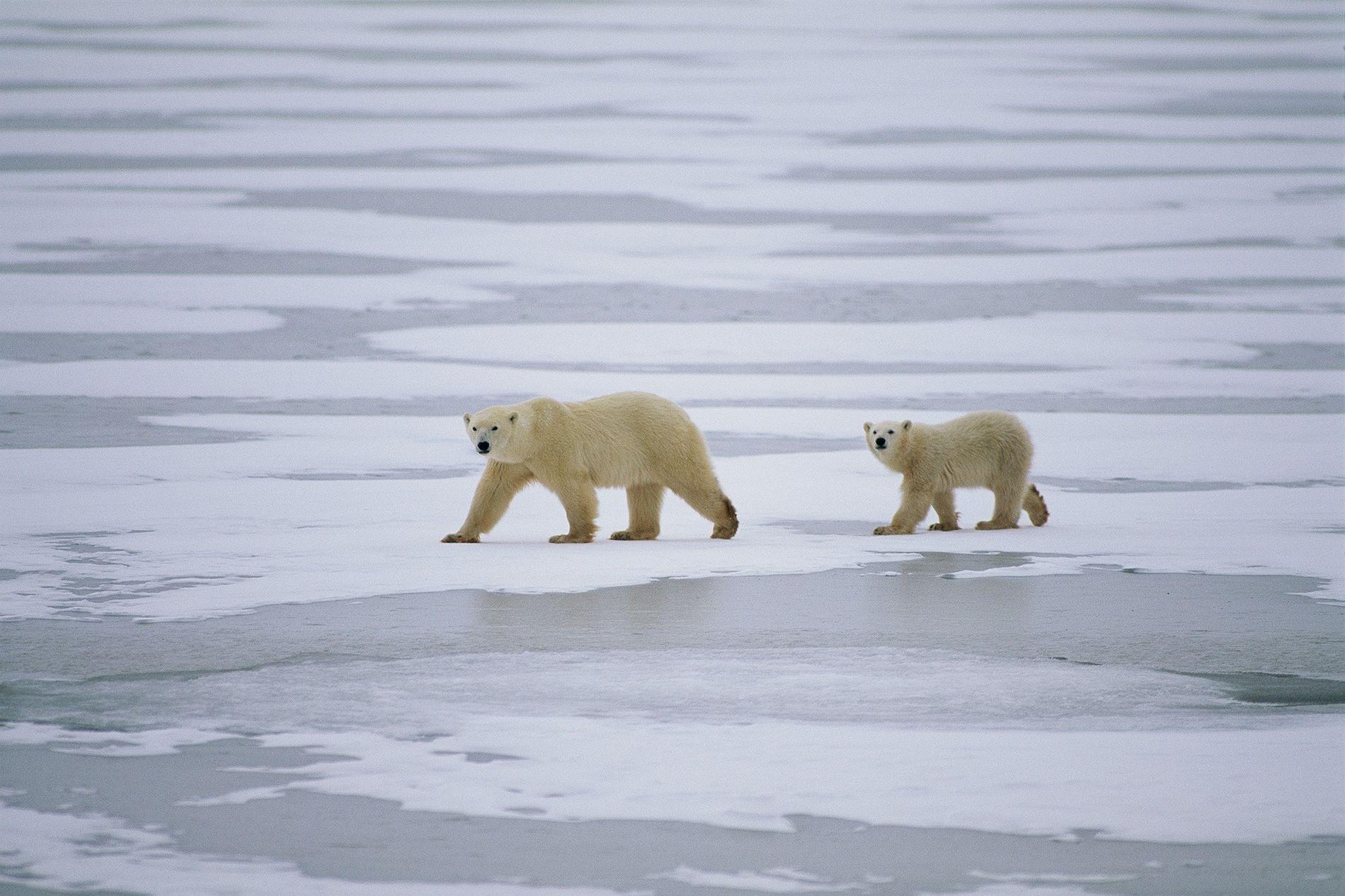 Une mère ours polaire et son ourson traversent la mer de glace à Nunavut, au Canada.
