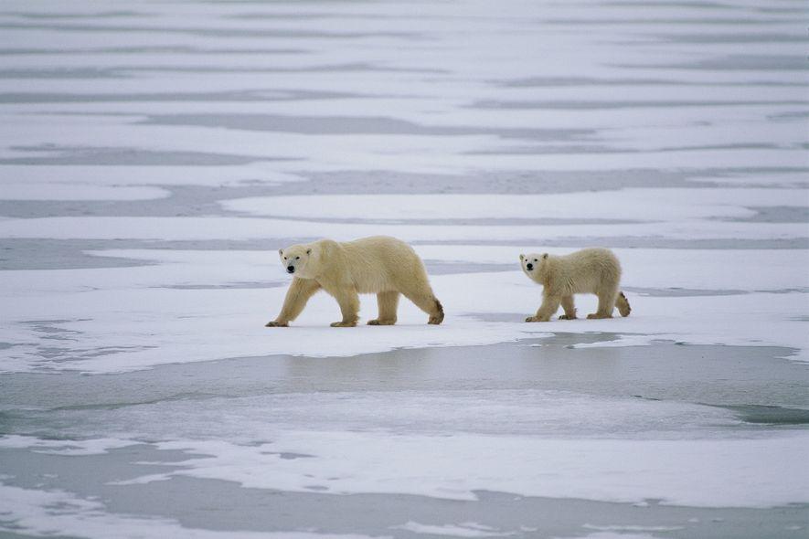 La banquise, indispensable à la survie de l'ours polaire, est en train de disparaître