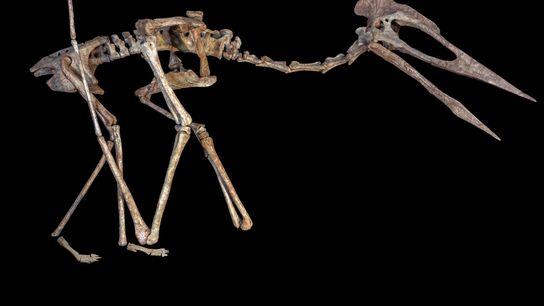 Une reconstruction squelettique du reptile volant connu sous le nom de Dracula, un ptérosaure azhdarchoïde géant ...