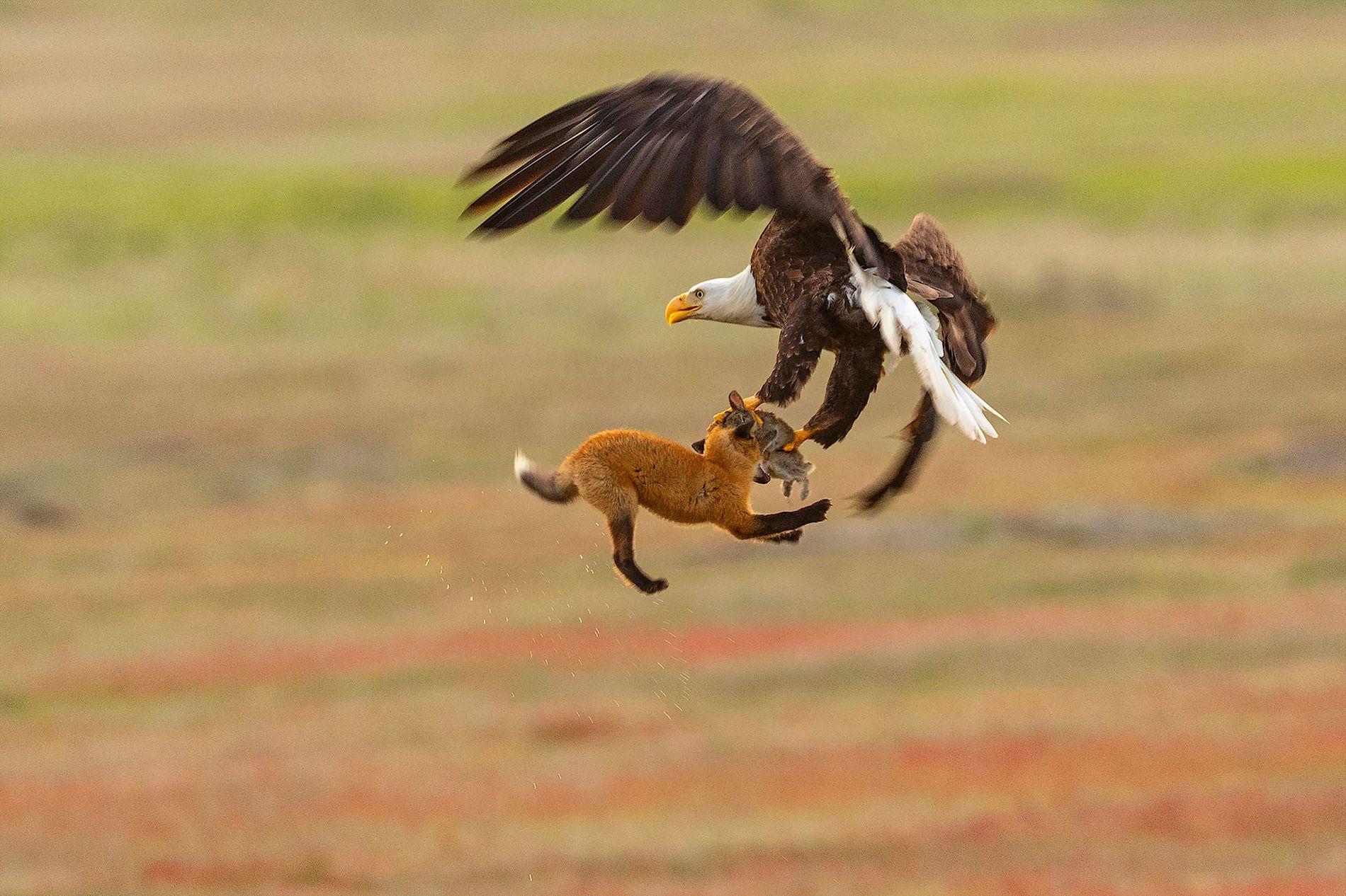 Kevin Ebi, photographe animalier, pensait que le renard serait déstabilisé par l'action de l'aigle et qu'il ...