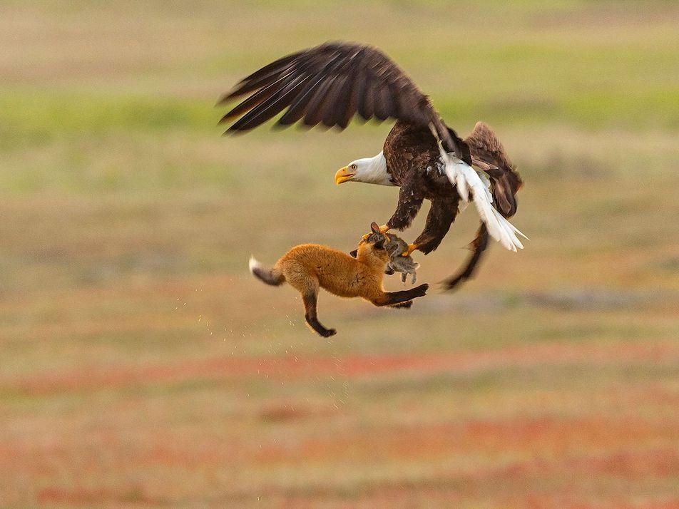 Un renard et sa proie saisis au vol par un pygargue à tête blanche