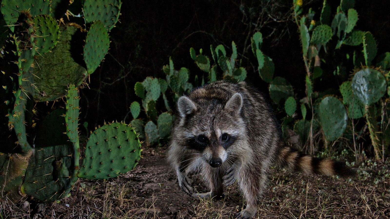 Les ratons-laveurs se sont établis un peu partout, des figuiers de barbarie du Texas (ci-dessus) aux ...