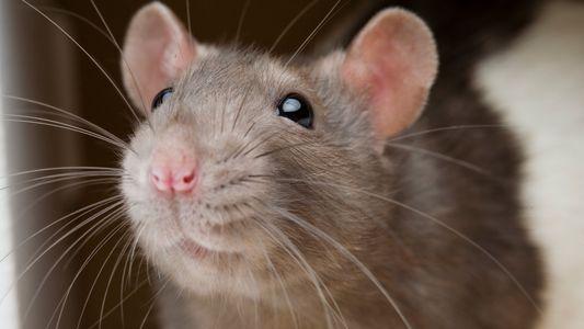Découverte : les rats ne nuisent jamais à leurs semblables