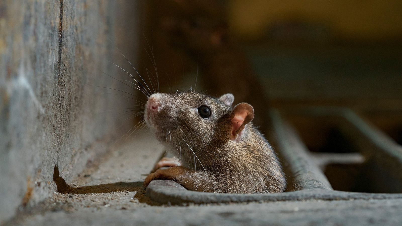 Un rat sort la tête d'une bouche d'égout à New York. À mesure que le confinement ...