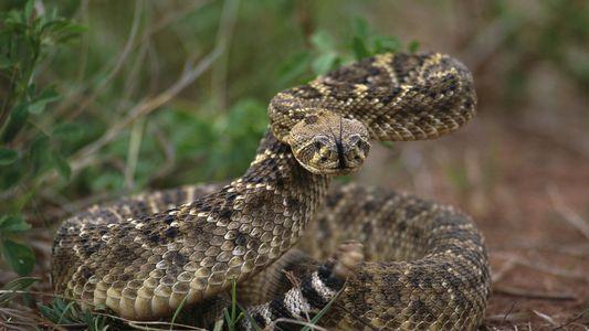 Mêmes décapitées, les têtes de serpents peuvent encore mordre